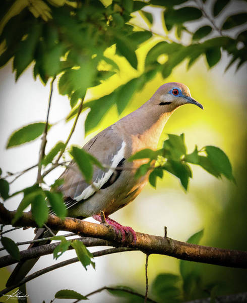 Photograph - White Winged Dove 05 by Philip Rispin