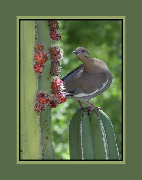 Photograph - White-winged Dove 0649-051318-1cr-matte by Tam Ryan