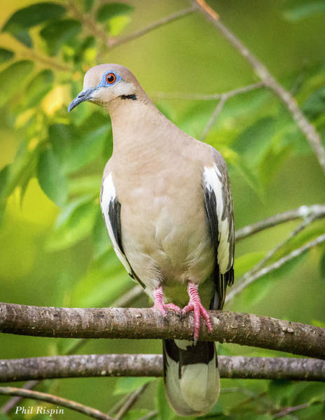 Photograph - White Winged Dove 07 by Philip Rispin