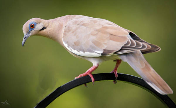 Photograph - White Winged Dove At The Feeder by Philip Rispin