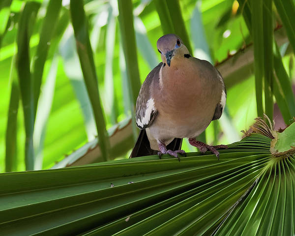 Photograph - White-winged Dove H48 by Mark Myhaver