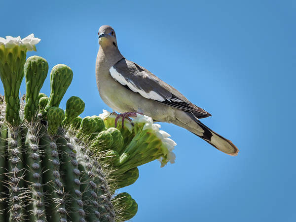 Photograph - White Winged Dove On Cactus Flower by Penny Lisowski