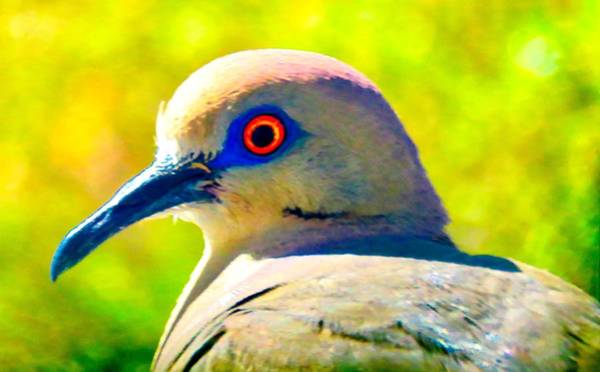 Photograph - White-winged Dove Portrait - Bright Eyes by Judy Kennedy