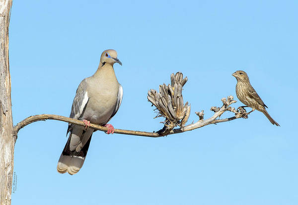 Photograph - White Winged Dove With Finch by Judi Dressler