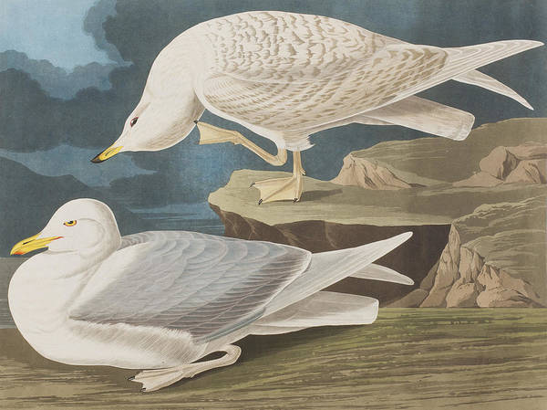 Gull Painting - White-winged Silvery Gull by John James Audubon