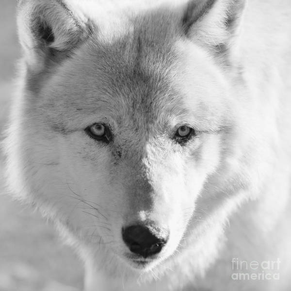 Wall Art - Photograph - White Wolf by Ana V Ramirez