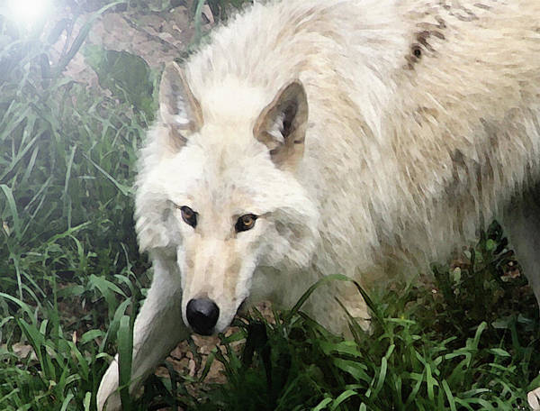 Photograph - White Wolf by Dennis Buckman