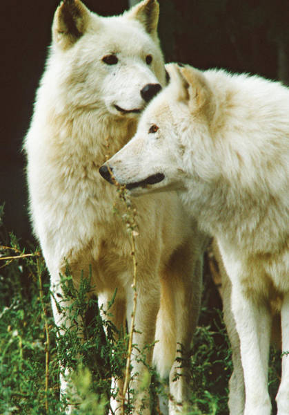 Photograph - White Wolf Pair by Steve Somerville