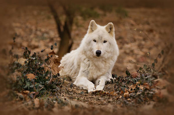 Arctic Wolves Photograph - White Wolf by Sandy Keeton