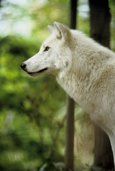 Photograph - White Wolf Stare by Steve Somerville