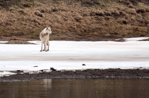 Photograph - White Wolf by Steve Stuller
