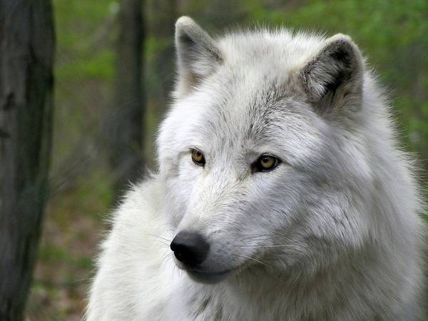 Arctic Wolves Photograph - White Wolf With Golden Eyes by Carol McGrath