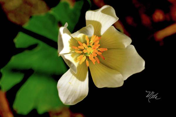 Photograph - Bloodroot White Flower by Meta Gatschenberger