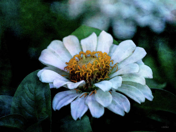 Photograph - White Zinnia 2533 Idp_2 by Steven Ward