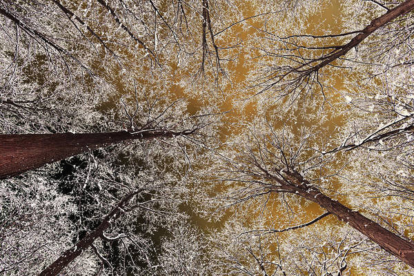 Acer Saccharum Photograph - Whiteout by Tony Beck