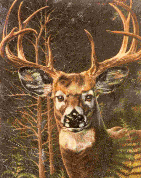 Whitetail Drawing - Whitetail Buck by Dy Witt