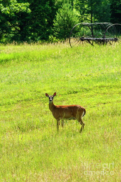 Wall Art - Photograph - Whitetail Deer And Hay Rake by Thomas R Fletcher