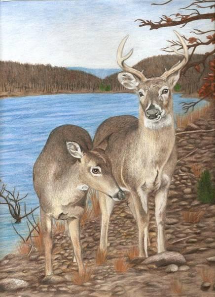 Whitetail Drawing - Whitetail Deer At Lake Wilson by Courtney Trimble