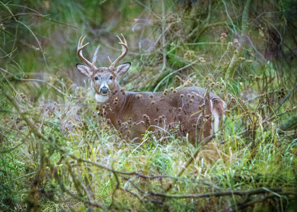 Photograph - Whitetail Deer Buck - Nature Framed by Patti Deters