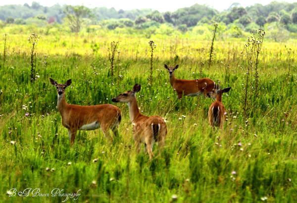 Photograph - Whitetail Deer Family by Barbara Bowen