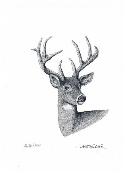 White Tailed Deer Drawing - White-tailed Deer by Lee Pantas