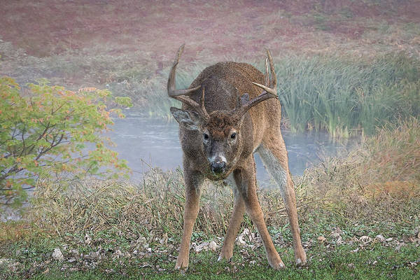 Photograph - Whitetail Deer Sketch by Patti Deters
