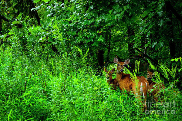 Photograph - Whitetail Doe And Fawns by Thomas R Fletcher