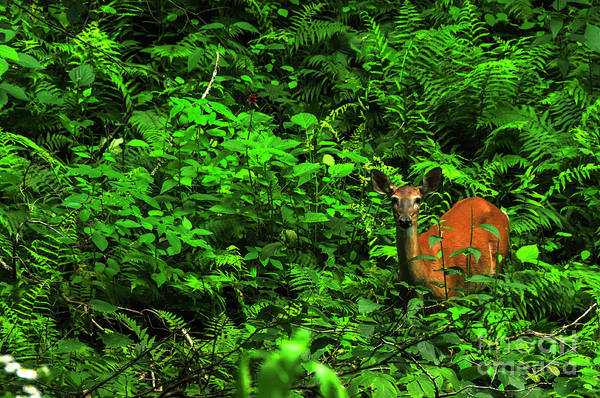 Wall Art - Photograph - Whitetail Doe In Ferns by Thomas R Fletcher