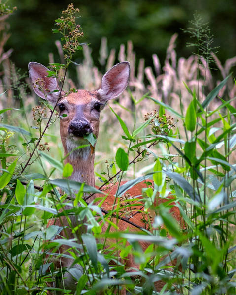 Photograph - Whitetail Doe by Mike Koenig