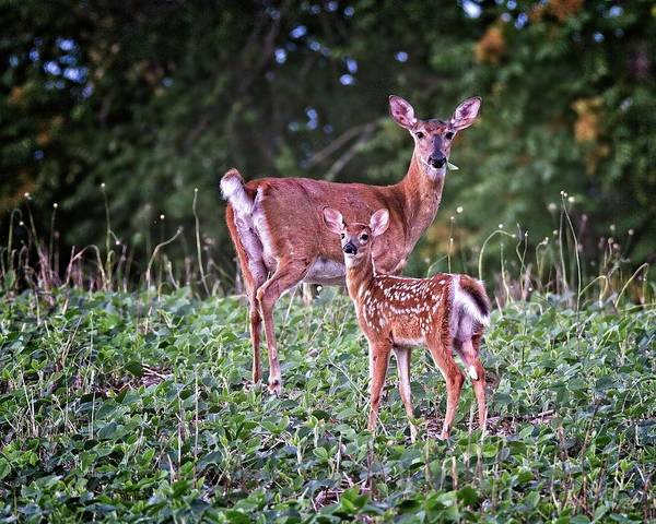 Photograph - Whitetail Doe With Fawn by Ronald Lutz