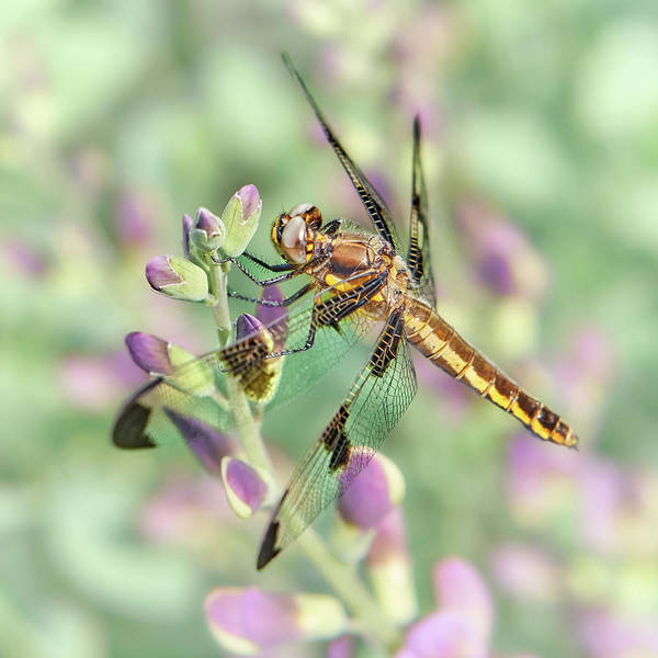 Skimmers Photograph - Whitetail Dragonfly On False Indigo 2 by Jim Hughes