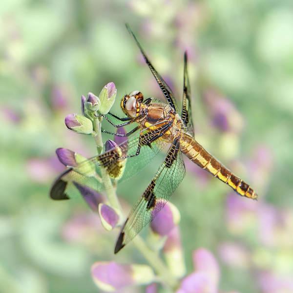 Photograph - Whitetail Dragonfly On False Indigo 2 by Jim Hughes