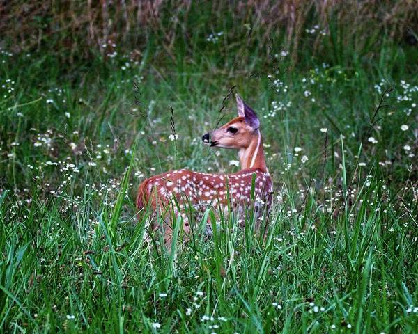Photograph - Whitetail Fawn by Ronald Lutz