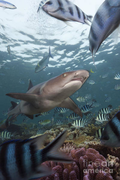 Triaenodon Obesus Photograph - Whitetip Reef Shark by Reinhard Dirscherl