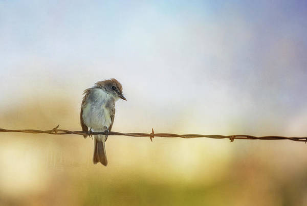 Wall Art - Photograph - Eastern Phoebe On A Fence by Joan Carroll