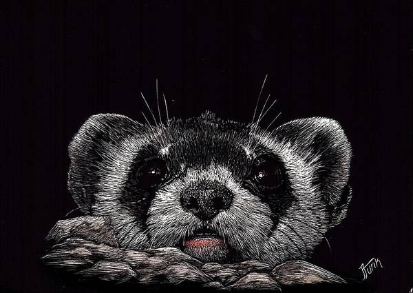 Ferrets Drawing - Who Me   Baby Ferret  by Janet Funk
