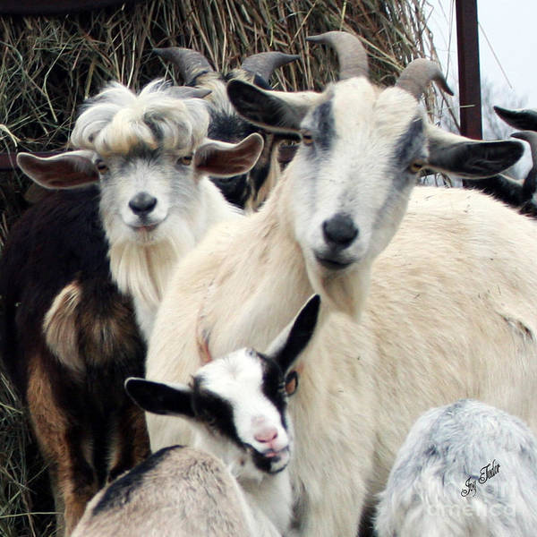 Farm Animals Photograph - Who Me by Joy Tudor