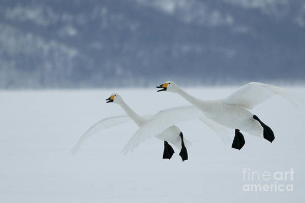 Photograph - Whooper Swans In Flight by M Watson