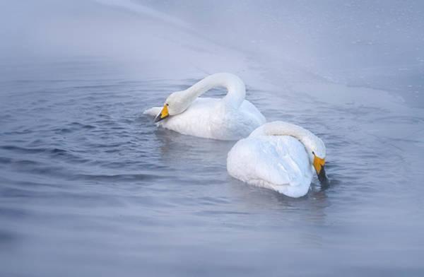 Photograph - Whooper Swans -mates For Life. by Usha Peddamatham