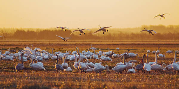 Wall Art - Photograph - Whoopers by Wedigo Ferchland