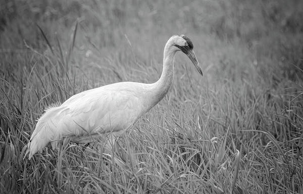 Photograph - Whooping Crane 2017-4 by Thomas Young