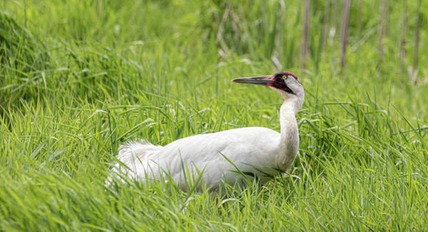 Photograph - Whooping Crane 2017-9 by Thomas Young