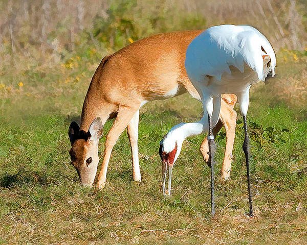 Whooping Cranes Photograph - Whooping Crane And Deer by Sally Mitchell