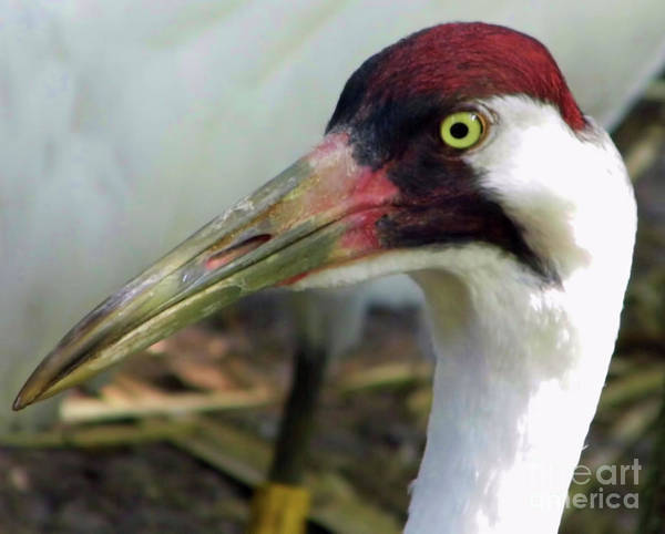 Photograph - Whooping Crane Portrait by D Hackett