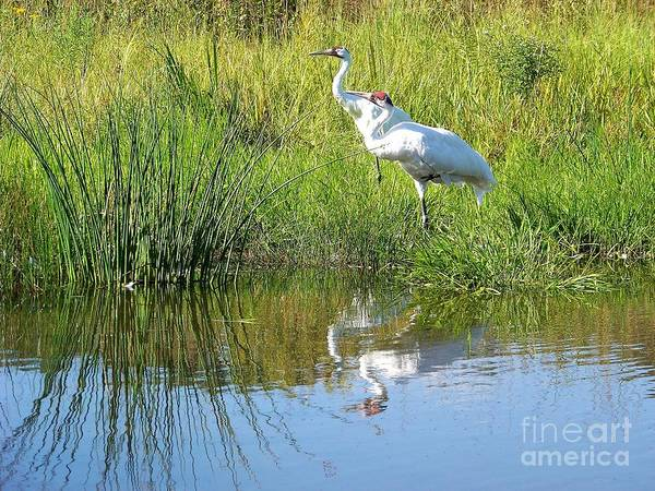 Photograph - Whooping Cranes by Charles Robinson