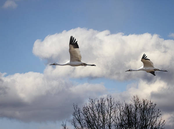 Whooping Cranes Photograph - Whooping Cranes In Flight 2015-2 by Thomas Young
