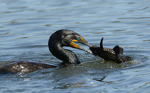 Double Crested Cormorant Photograph - Whopper 2 by Fraida Gutovich