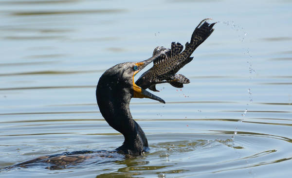 Double Crested Cormorant Photograph - Whopper by Fraida Gutovich