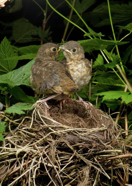 Swainsons Thrush Photograph - Who's Going First by Damon Calderwood