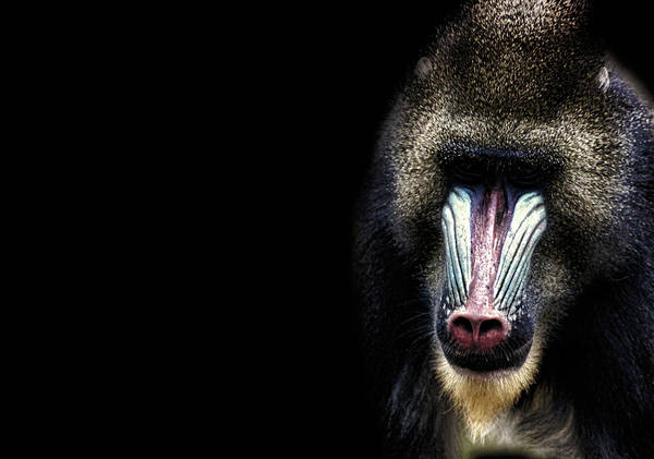 Baboons Photograph - Why The Long Face by Martin Newman
